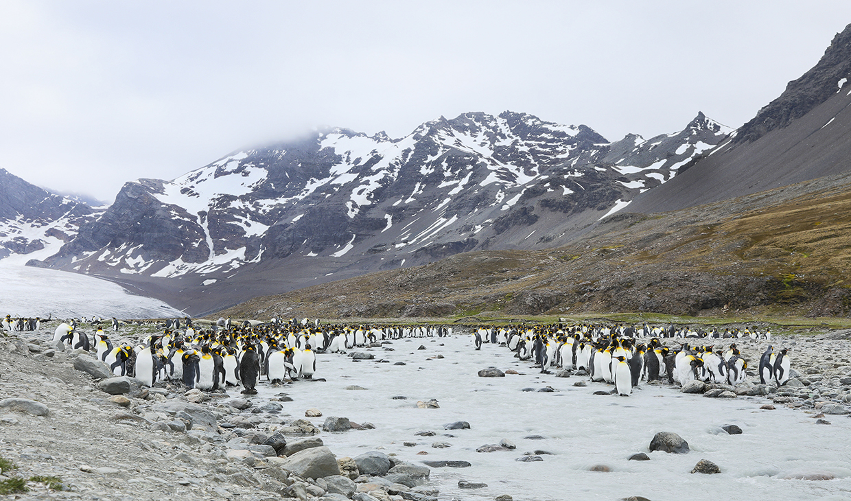 King-penguins at the river in South Georgia